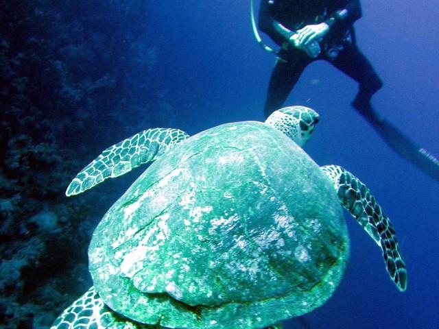 Schildkröte kommt - Schwimmen Tauchen Tirol