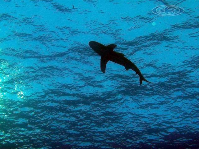 Shark - Haie - Schwimmen Tauchen Tirol